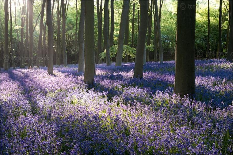 Bluebells, Micheldever, Hampshire, England